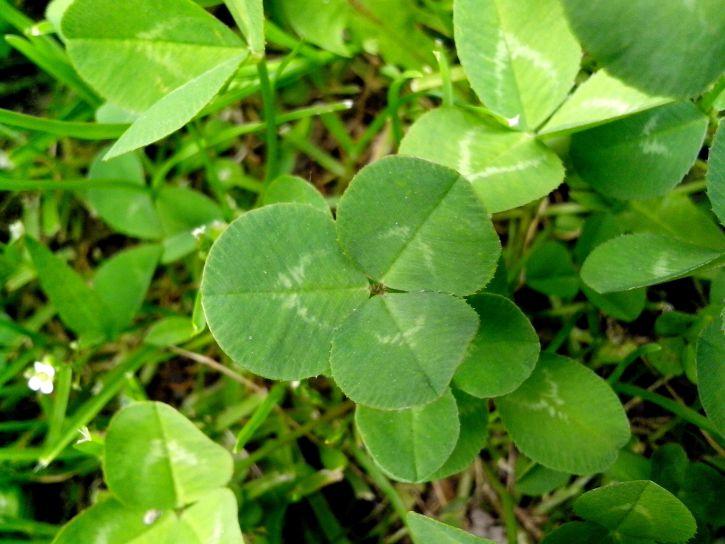 clover, plant, grass