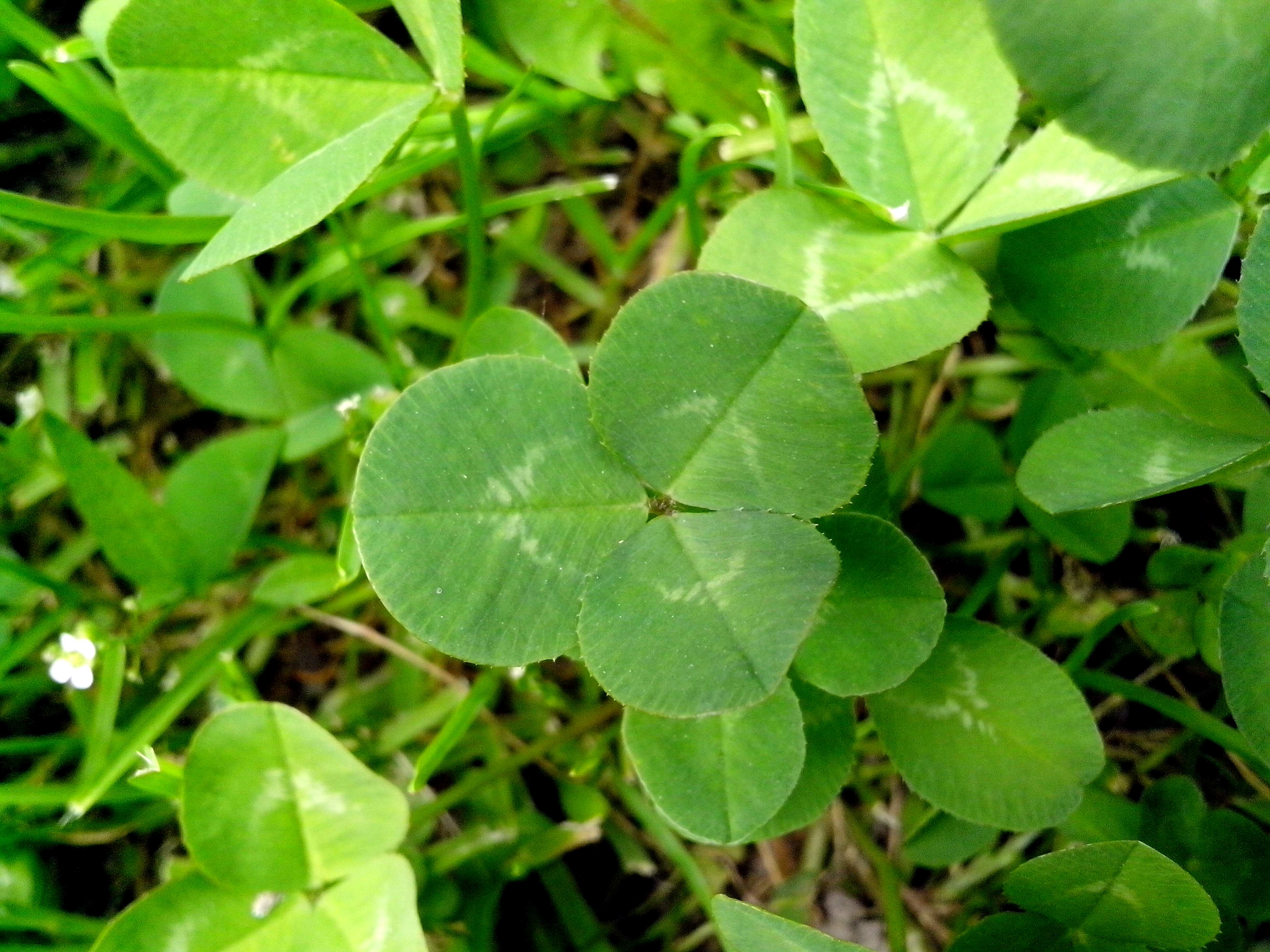 Free photograph; clover, plant, grass