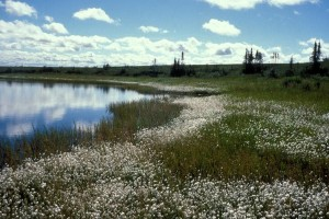 selawik, toevluchtsoord, cottongrass, wetlands