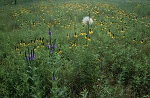 flowering, wildflowers, tall, grass