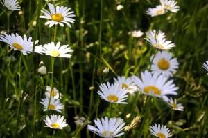 flowers, grass, mountains