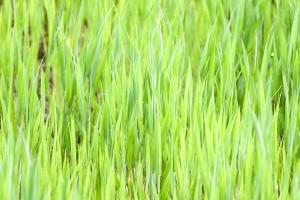 ggreen, könnyű, fű