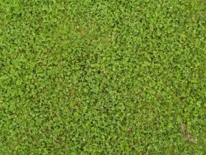 grass, clover