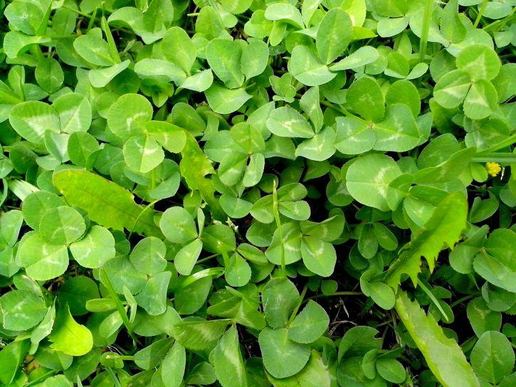 green, clover, grass