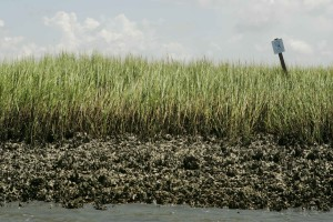green grass, marsh, oyster, beds