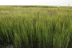 grün, Wüste, Sumpf, Gras