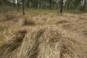 high, cogon, grass, details, image