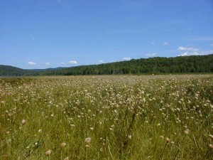 high, cottongrass