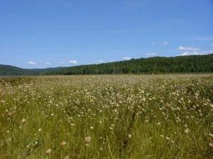 haute, cottongrass