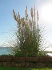 high, reed, grass