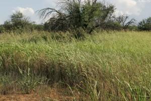 invasive, Gräser, konkurrieren sie, gebürtig, pflanzen