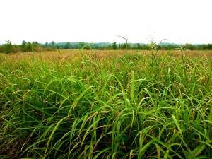 johnson, grass, covering, floodplain, sorghum, halepense
