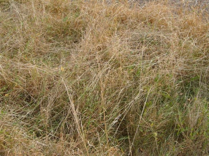 long, brun, herbe