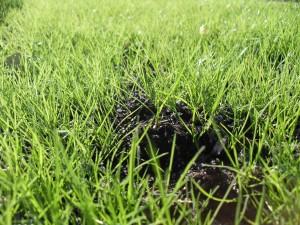 planted, grass, close