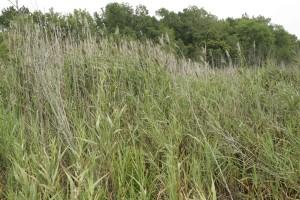 native, phragmites, common, reed