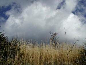 pašnjak, visoka trava