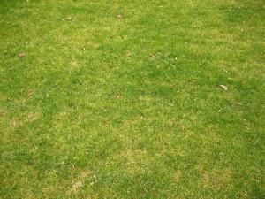 herbe courte
