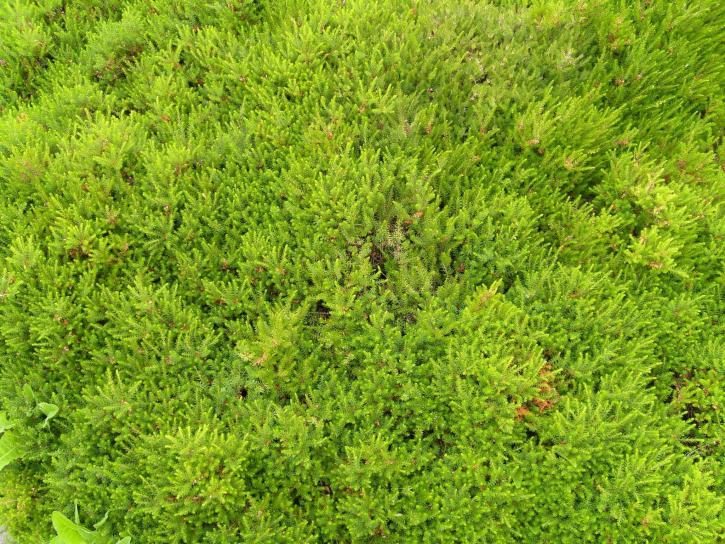 Free picture variety short grass for Short variegated grass