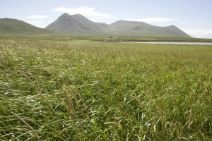 wild, green grass, coast