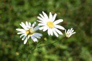 blanc, sauvage, fleur, colline