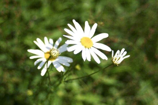 white, wildness, flower, hill