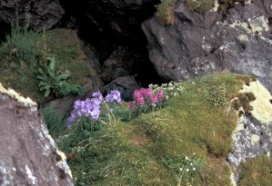 hall, island, jacobs, ladder, lousewort, auklet, colony