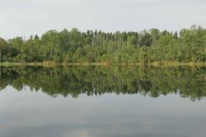 beautiful, Pocosin, pine, forest, lines, shore, lake