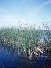 bulrush, grows, lakes