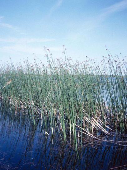 trska, raste, jezera