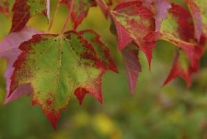 groupe, superbe, érable, feuilles
