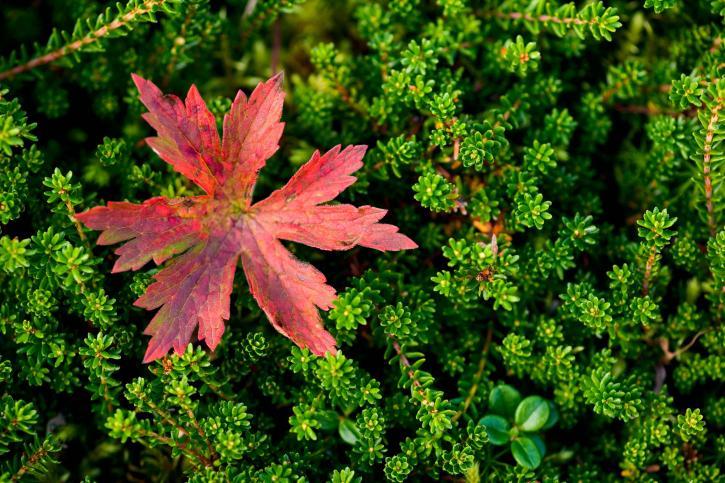 feuille rouge, vert, plantes, herbe
