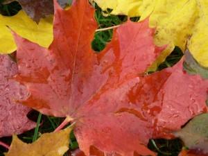 automne, grand, érable, feuilles
