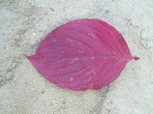 Herbst, Cornus, verlassen