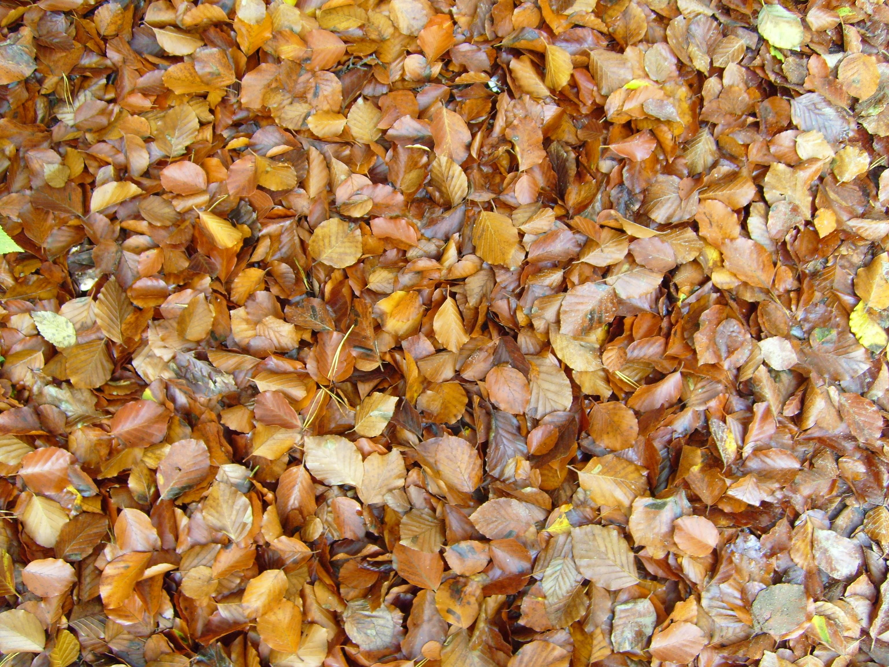 free picture autumn leaves background