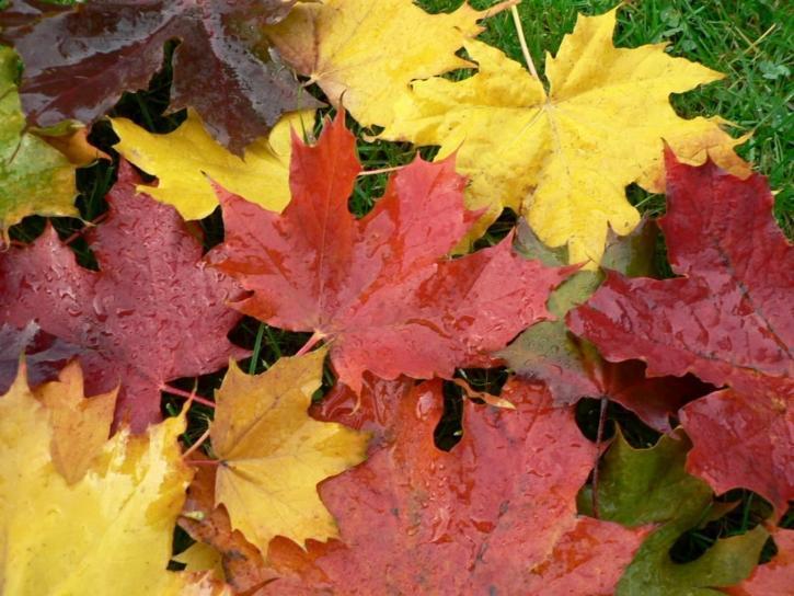 autumn, maple, leaves
