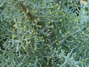 pupoljci, siva, zelena, bor
