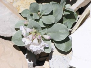 up-close, dark, green leaves, white flowers