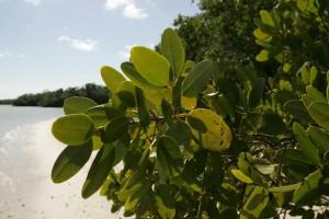 de près, rouge, mangrove, feuilles