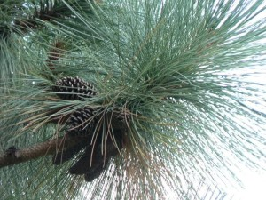 conifer, cones