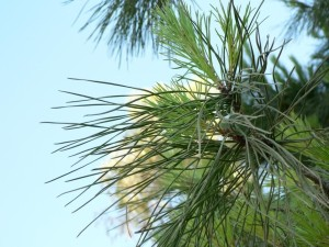 conifer, needle