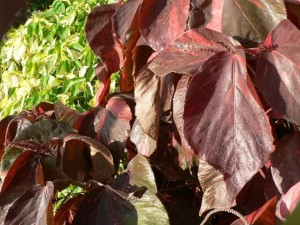 dark red, colored, leaves