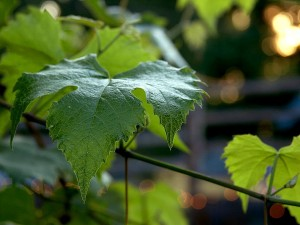grape, leaf, leaves, green