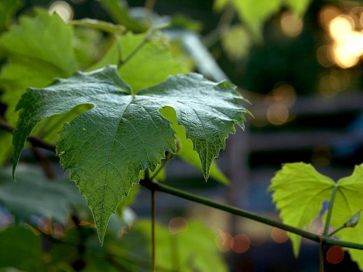 grape, leaf, leaves, green