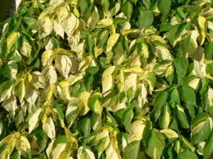 green, yellow, leaves