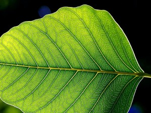 green leaf, leaves