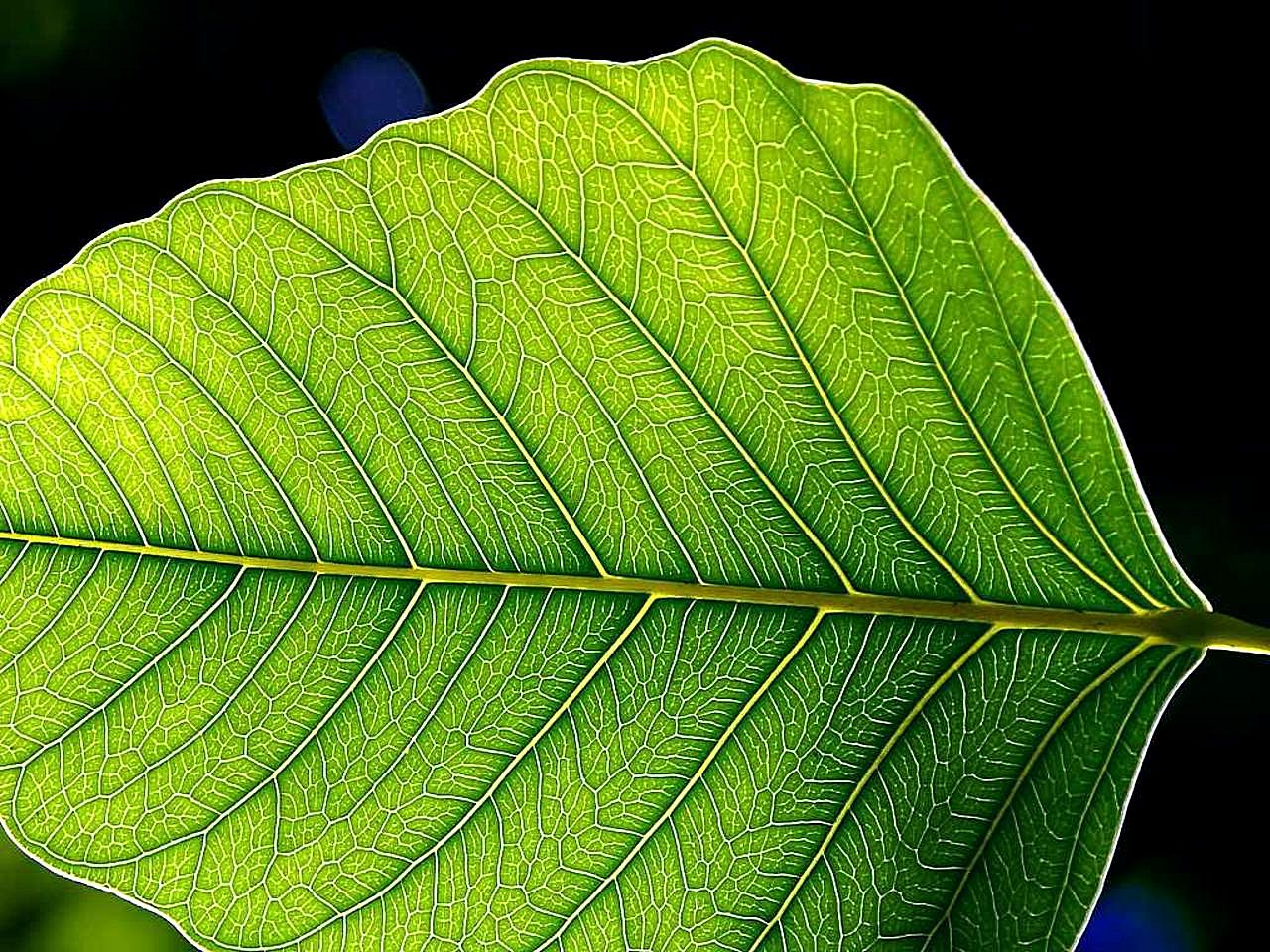 Free picture: green leaf, leaves