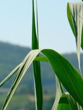 green leaves, macro