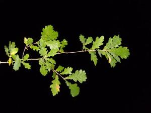 feuille, feuilles, branche, nuit