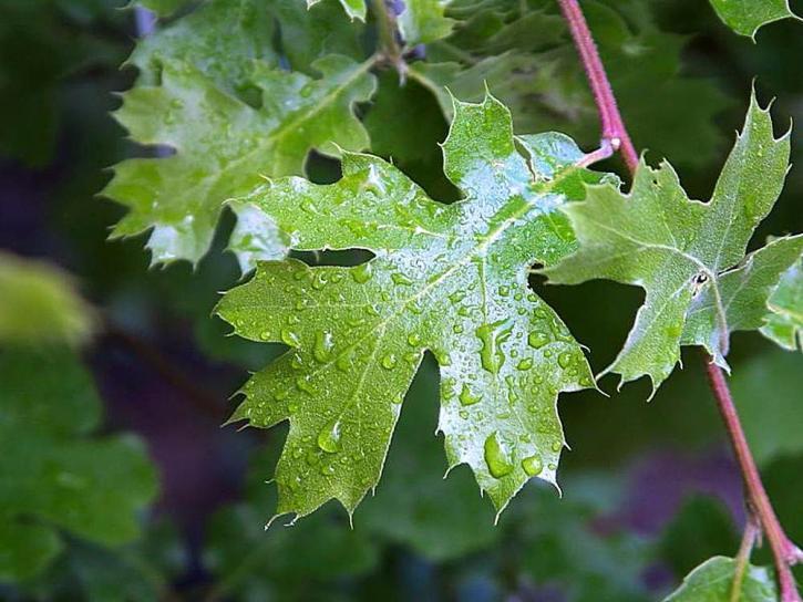leaves, leaf, raindrops