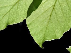 leaves, black, background